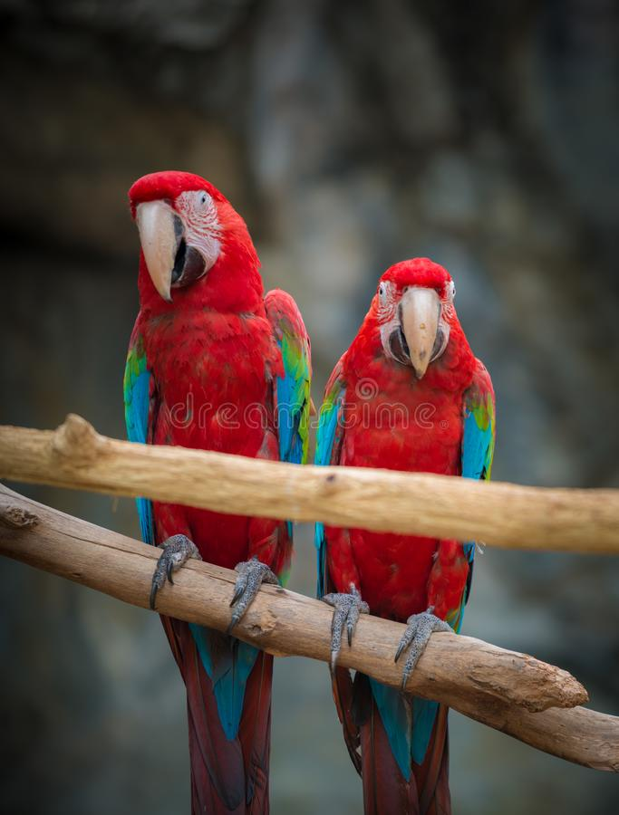 Two Scarlet Macaws perched on a tree branch royalty free stock photography