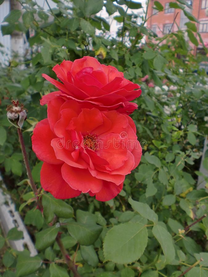 Two scarlet roses on a city flowerbed. stock photo