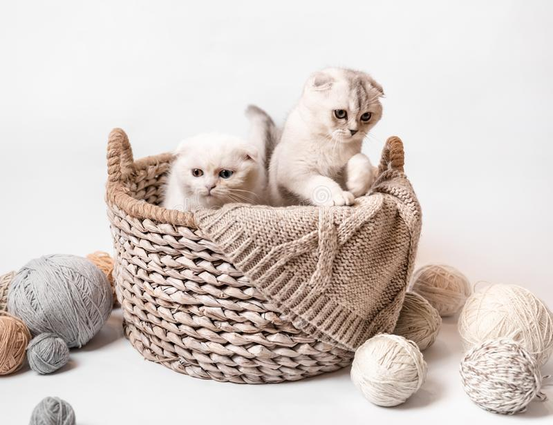 Two Scottish fluffy kittens stock photography