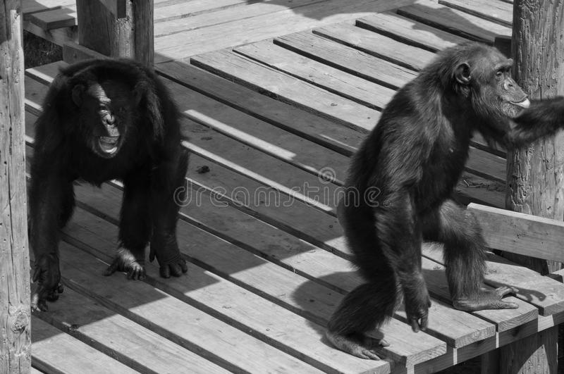 Two Screaming Chimpanzee Primates showing monkey love. These are two large male and female Primates or chimps or chimpanzee friends. They are hanging out in royalty free stock photo
