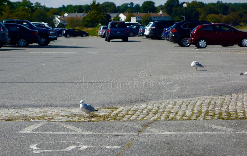 Sea gulls standing on cobblestones and pavement royalty free stock photos