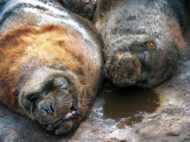 Download Two sea lions stock image. Image of coat, america, life - 10479727