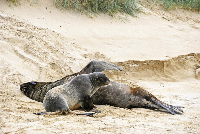 Two sea lions on the beach stock images