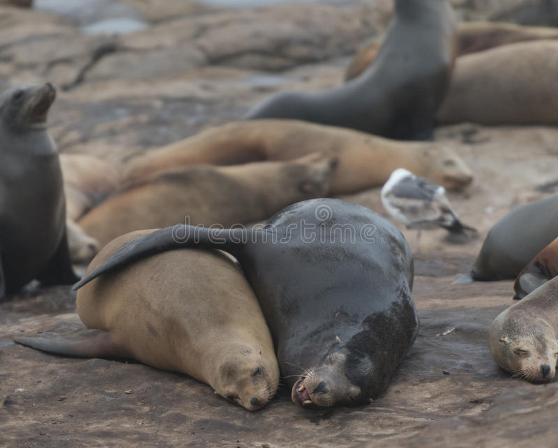 Two Sea Lions Cuddle. In popular sunbathing spot stock photos