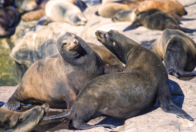 Sea Lions, La Jolla, California. Two sea lions interact on the rocks in La Jolla Cove, in the popular tourist destination of La Jolla, southern California on the stock photo