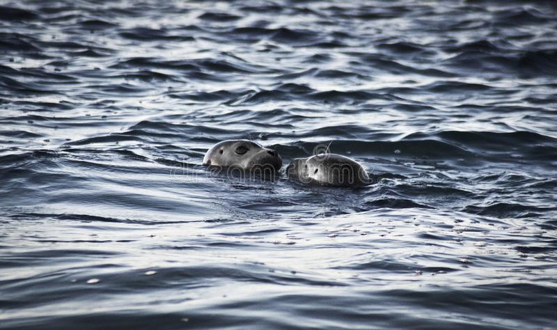 Two Sea Lions in Ocean at Daytime stock photo