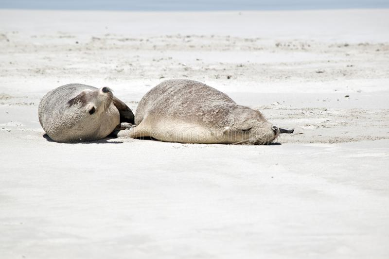 Two sea lions royalty free stock photos