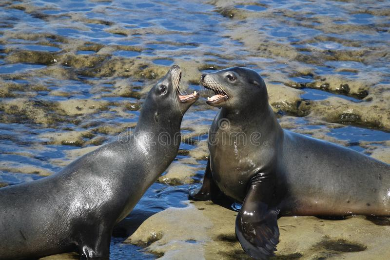Two sea lions on rocks. In La Jolla California stock photos