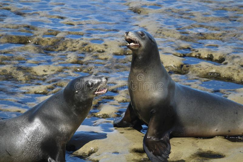 Two sea lions on rocks. In La Jolla California royalty free stock images