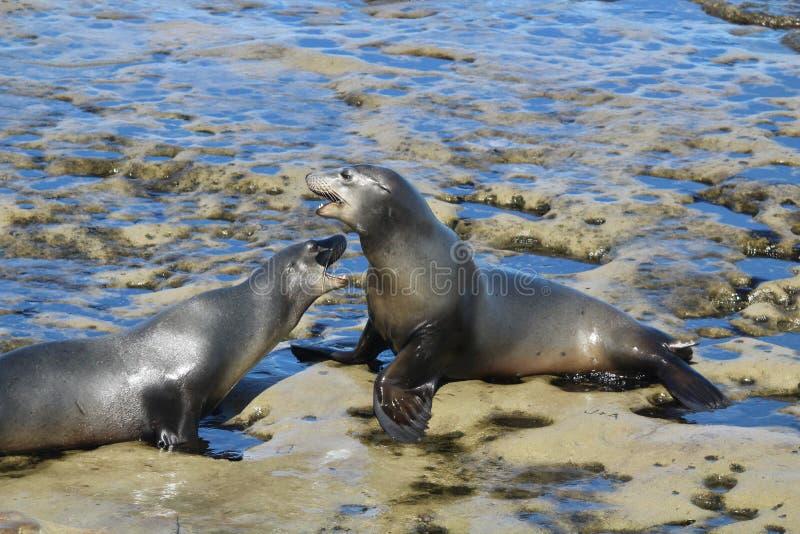Two sea lions on rocks. In La Jolla California royalty free stock photo