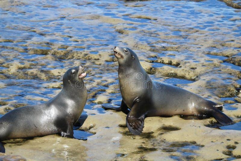 Two sea lions on rocks. In La Jolla California royalty free stock photos