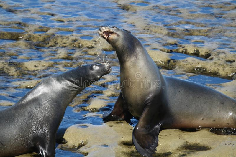 Two sea lions on rocks. In La Jolla California stock photo