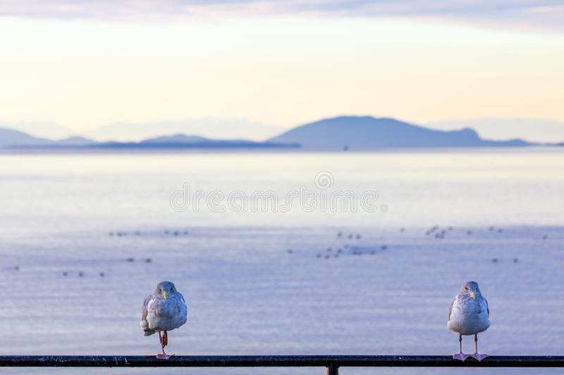 Two seabirds face camera infront of islands and the sea. Close-up of two seabirds standing on railing and facing the camera. Shallow depth of field blurs the royalty free stock images