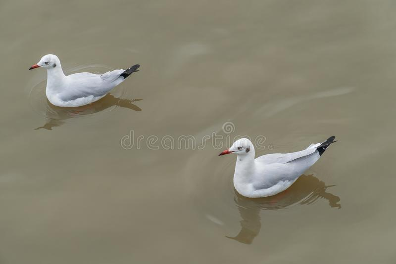 Two seagull floating on the water.  stock photos