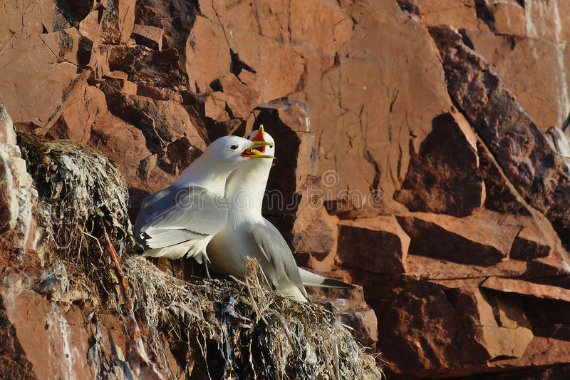 Two seagulls (Black-legged kittiwake, Rissa tridactyla) fight in the nest. The scene is illuminated by sunset light. royalty free stock photo