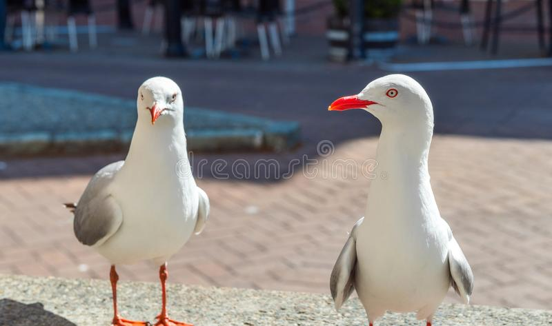 Two seagulls on a city street, Nelson, New Zealand. With selective focus.  stock photos