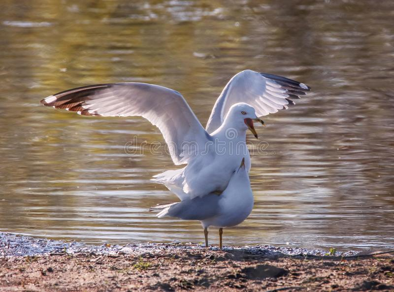 Two seagulls mating on the shore next to the edge of water stock photo