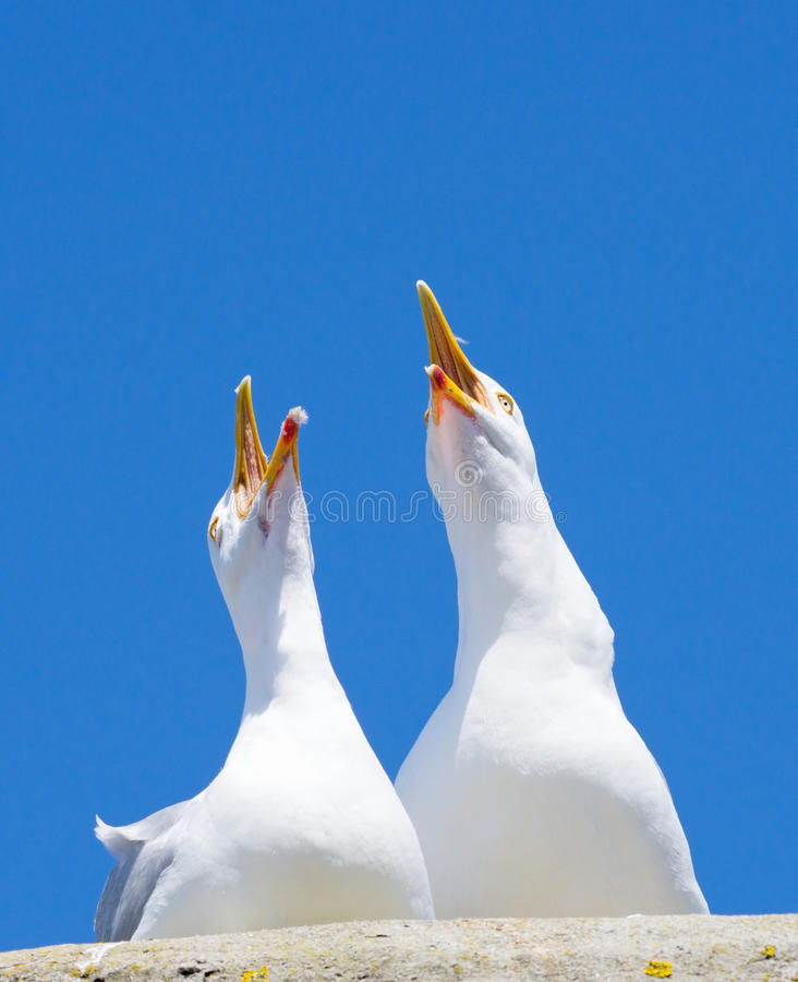 Two seagulls squawking loudly stock images