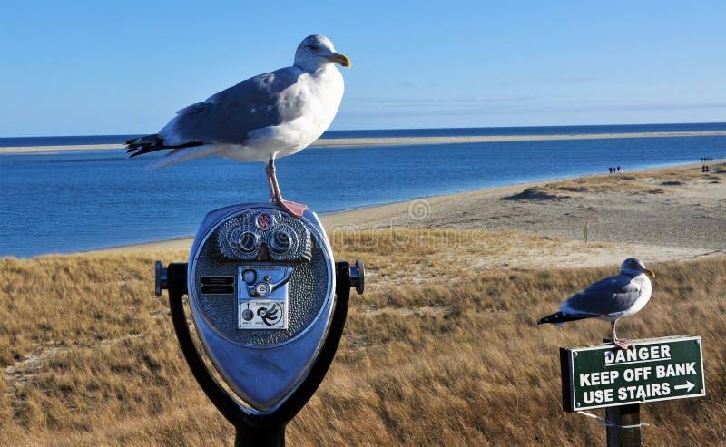 Seagulls at Chatham Beach royalty free stock photography