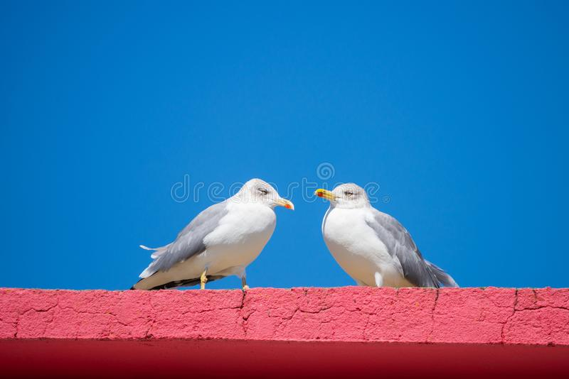 Two seagulls standing on red stone wall royalty free stock images
