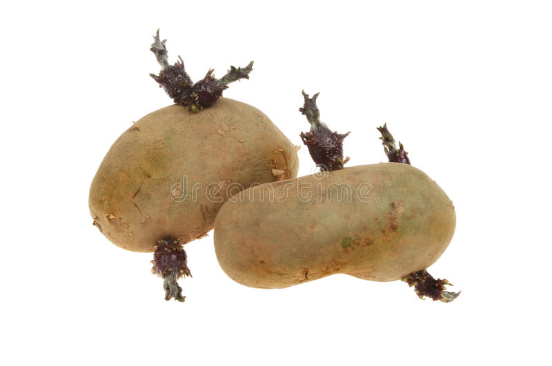Two seed potatoes stock photo