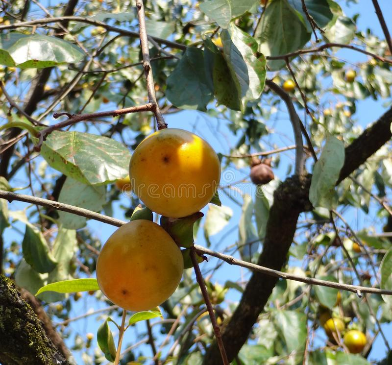 Two semi-ripe  persimmons hang on the trees in the morning sun. While I traveled in the village in Anhui China, I looked up two semi-ripe persimmons hang on the stock photo