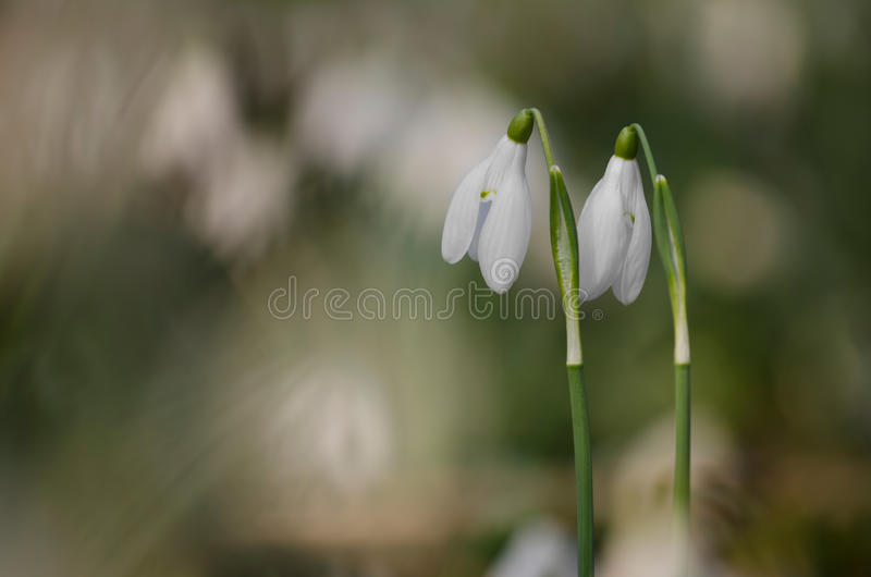 Two separate snowdrop flowers stock photos