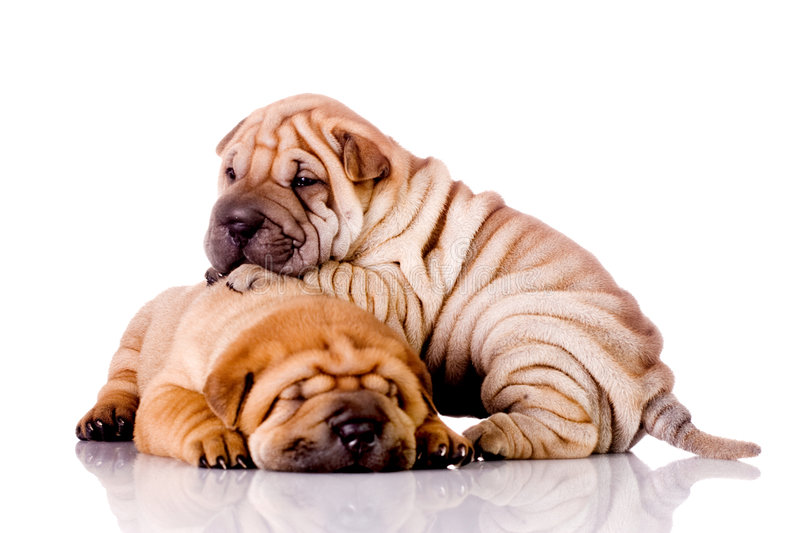 Two Shar Pei baby dogs. Almost one month old stock photography