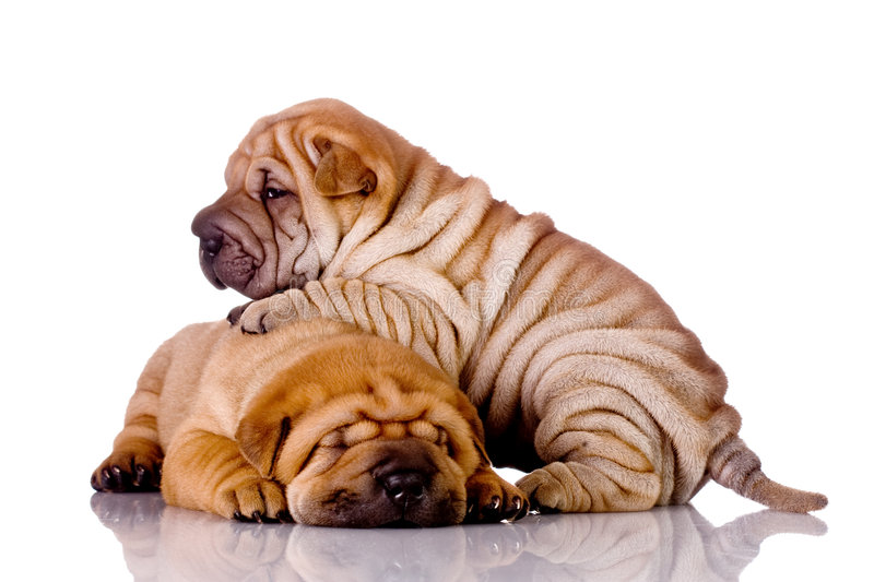 Two Shar Pei baby dogs royalty free stock image