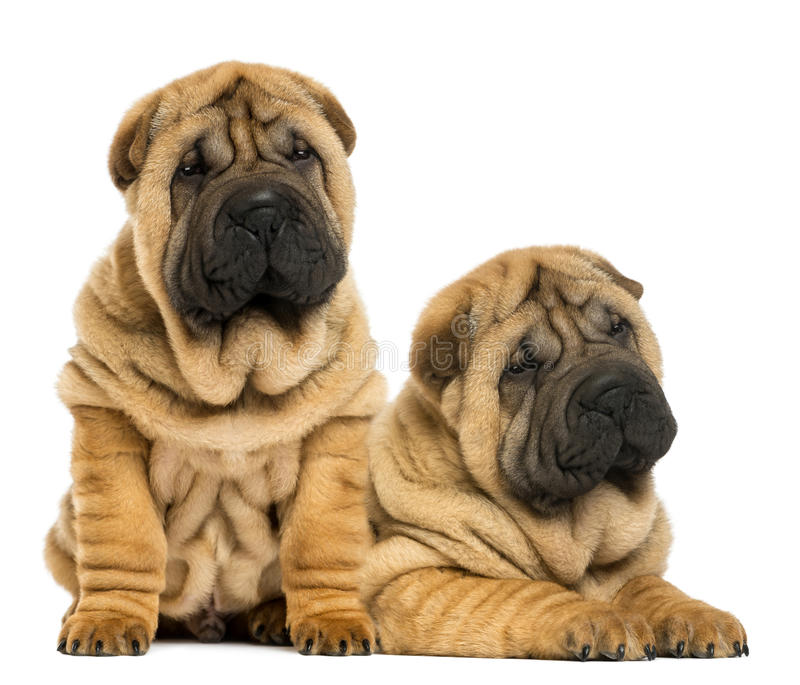 Download Two Shar Pei Puppies Sitting And Lying Next To Each Other Stock Image - Image: 30814083