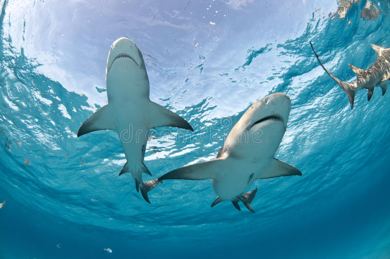 Two sharks swimming together. Two lemon sharks swimming overhead with the sky clearly visible through the surface of the water stock images