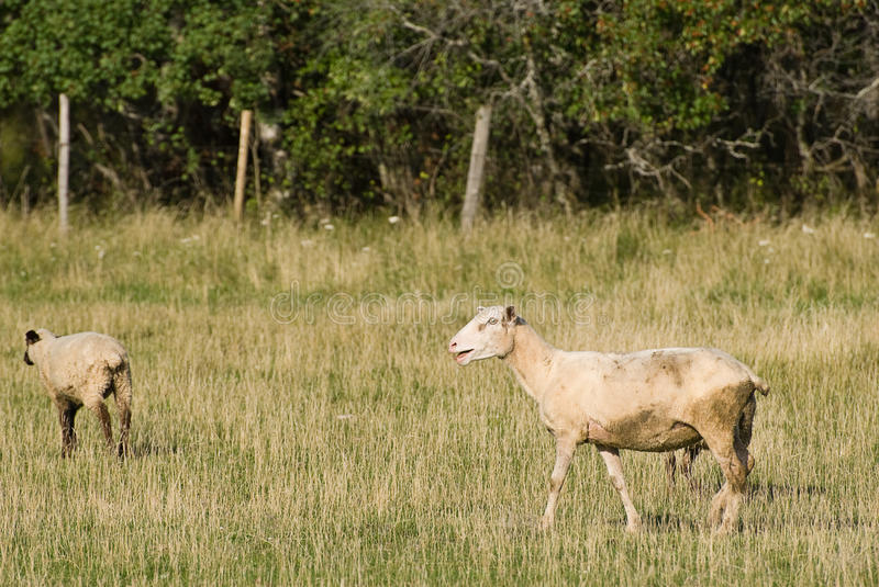 Download Two Sheep stock image. Image of mammal, meadow, domestic - 10732681