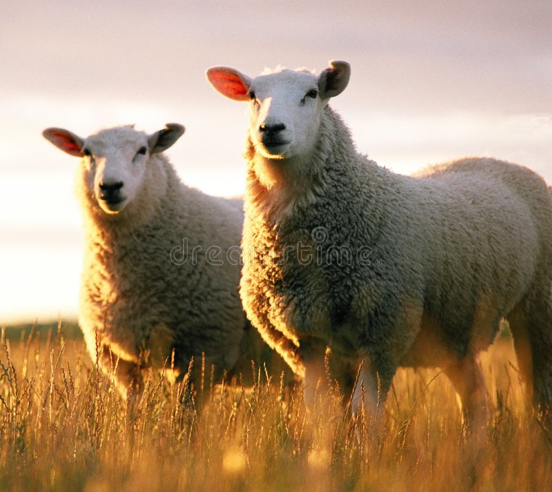 Free Two Sheep Stock Photography - 3856492