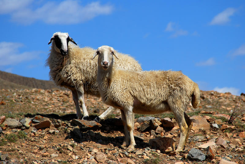 Download Two sheep stock photo. Image of slope, mutton, country - 9806392