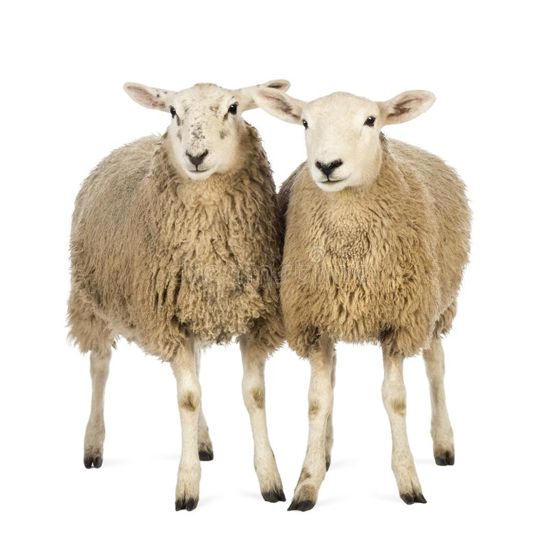 Two Sheep against white background stock photography