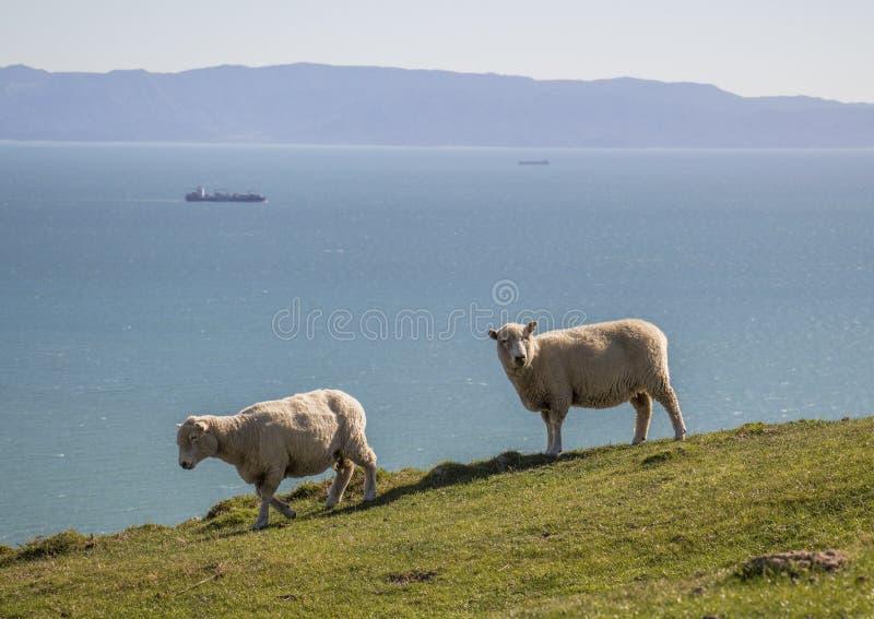 Two sheep Cable bay walkaway, Nelson, New Zealand. Merino sheep with big boat behind stock photo