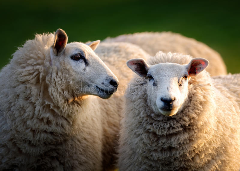 Two Sheep in Evening Light. A sheep appears to be whispering in another sheep's ear. Their faces are captured in great detail in golden evening light in Norfolk royalty free stock photography