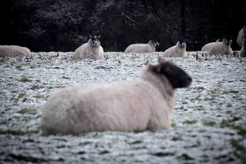 Two sheep looking at the camera royalty free stock photos