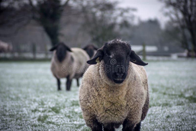 Two sheep looking at the camera stock image