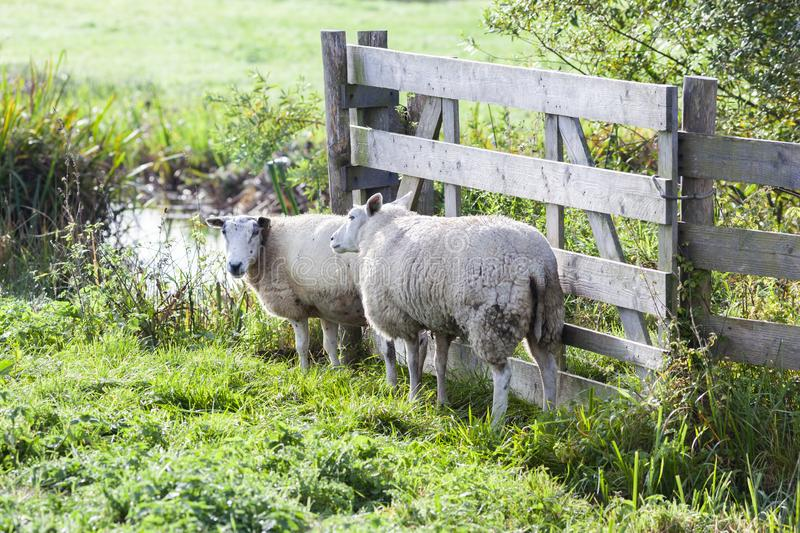 Two sheep near a fence stock photos