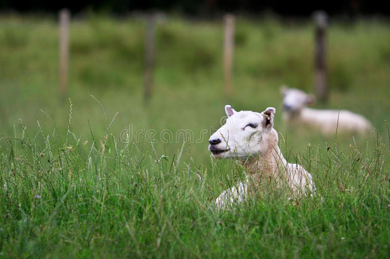 Download Two Sheep Resting In Long Grass Stock Photo - Image of long, paddock: 23042824