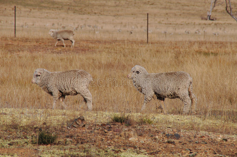 Download Two Sheep Walking In A Row In A Dry Farm Paddock Stock Photo - Image: 11382704