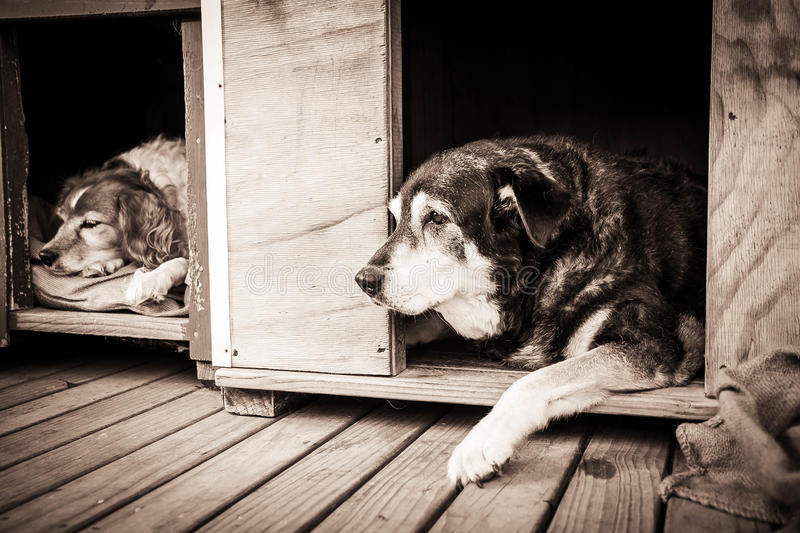 Two sheepdogs in their kennels. Horizontal format colour image of two sheepdogs side by side in their kennels stock photos