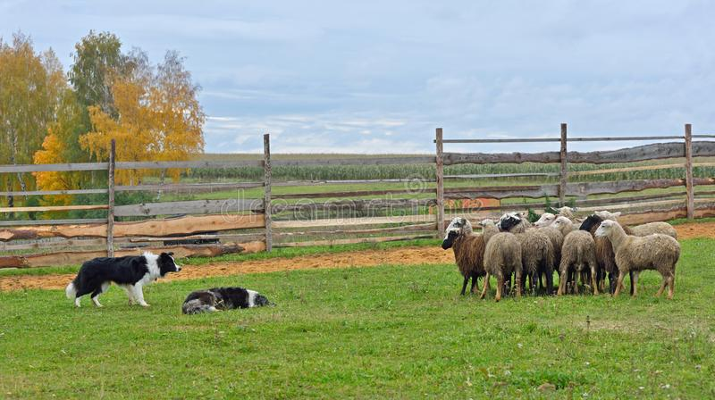Two Sheepdogs working royalty free stock image