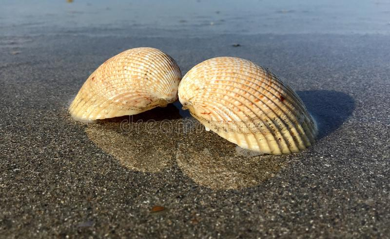 Two shells mirror in the water stock photo