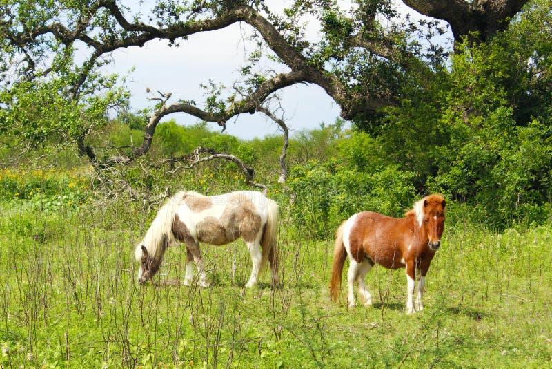 Two Shetland Ponies Refugio Texas royalty free stock photo