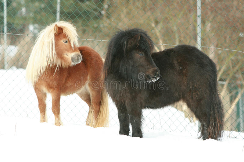 Two shetland ponnies standing together in winter stock images