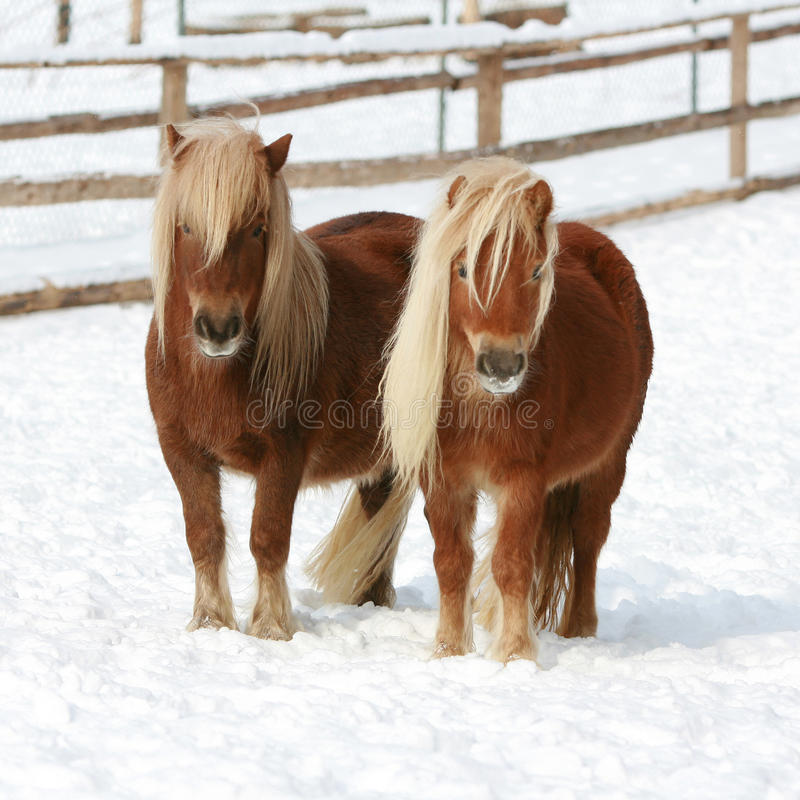 Two shetland ponnies standing together in winter royalty free stock photos