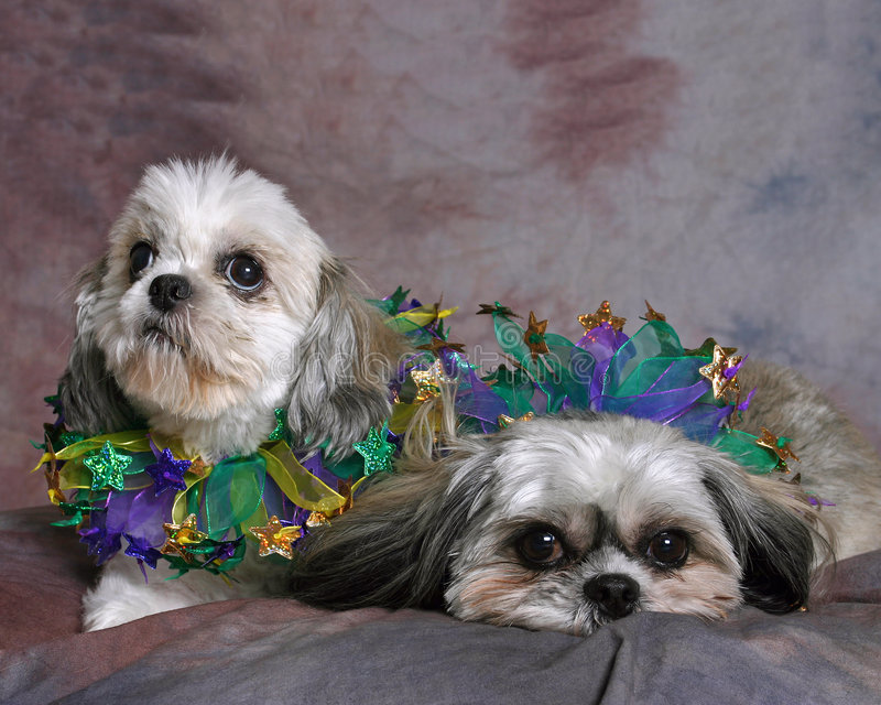 Download Two Shi Tzu Dogs stock photo. Image of loving, adorable - 56094