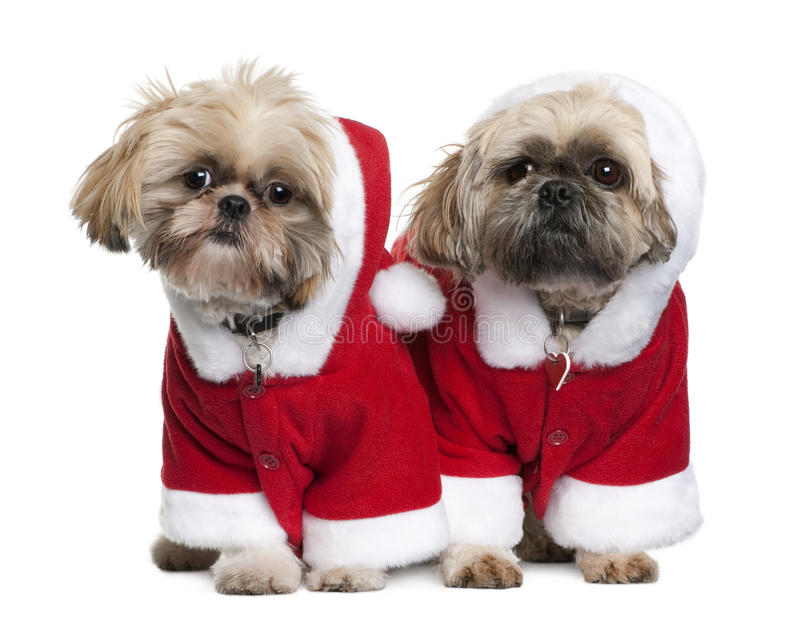 Two Shi-Tzu's in Santa Claus suits, standing. Two Shi-Tzu's in Santa Claus suits, 3 years old, standing in front of white background royalty free stock photo